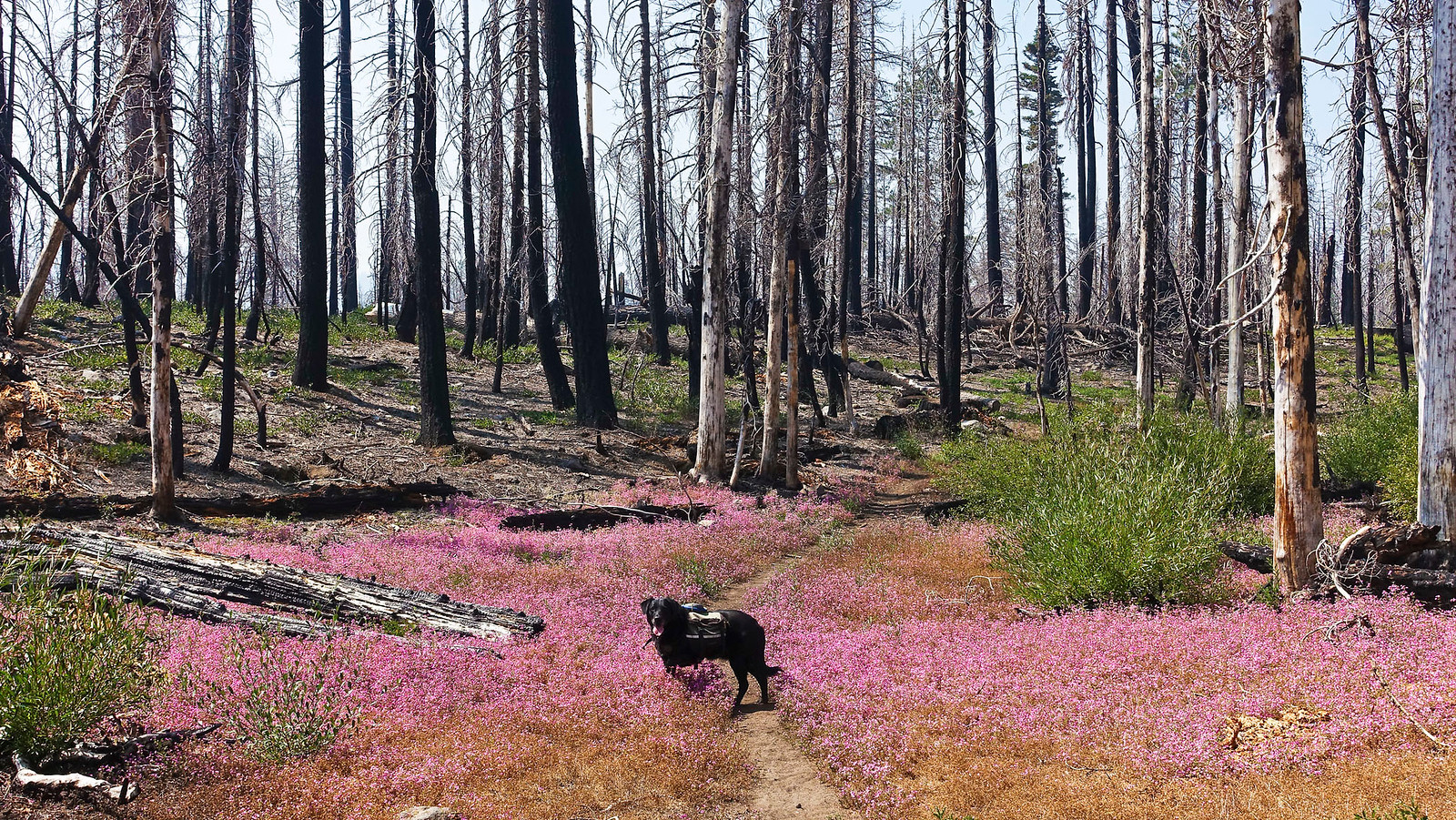 These beautiful pink wildflowers are part of the forest's renewal process.