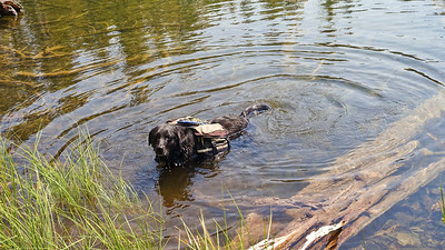 Zuri takes advantage of the cool water of Everett Lake.