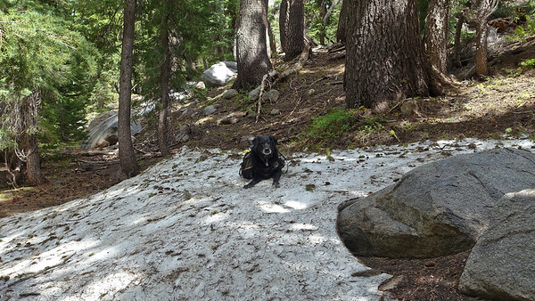 Zuri enjoys a patch of snow just off the trail.