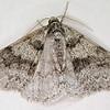 Small Phigalia (p 223 Peterson FG to Moths of NA) (PFGMNA)