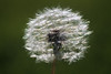 This solitary dandelion caught my eye as I started to hobble back inside.