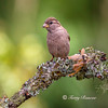 LBB (little brown bird)