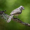 Tufted Titmouse, immature