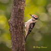Downy Woodpecker, immature male