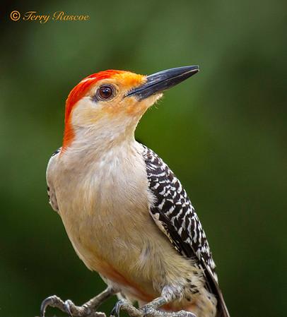 Backyard Birds in central Texas