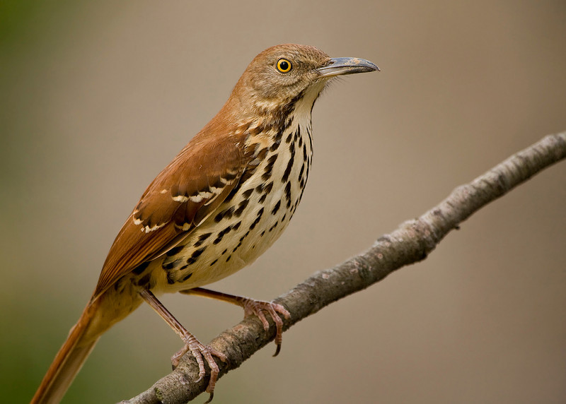 Brown Thrasher<br /> <br /> I'll eventually get around to commenting again ... sick cat, work, laziness, birds to photograph, laziness, and did I mention laziness?