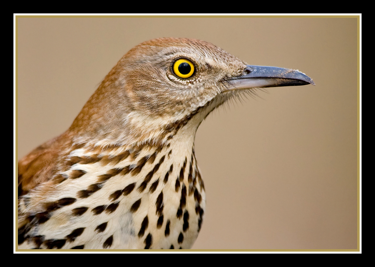 Brown Thrasher Close Up