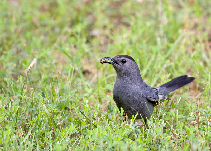 Grey Catbird, with Beetle