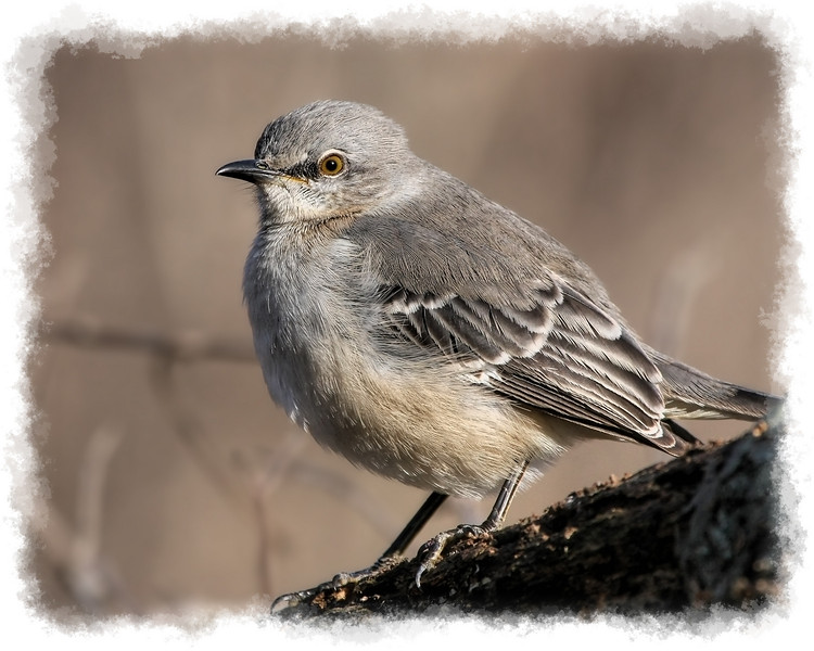 Juvenile Mocking Bird