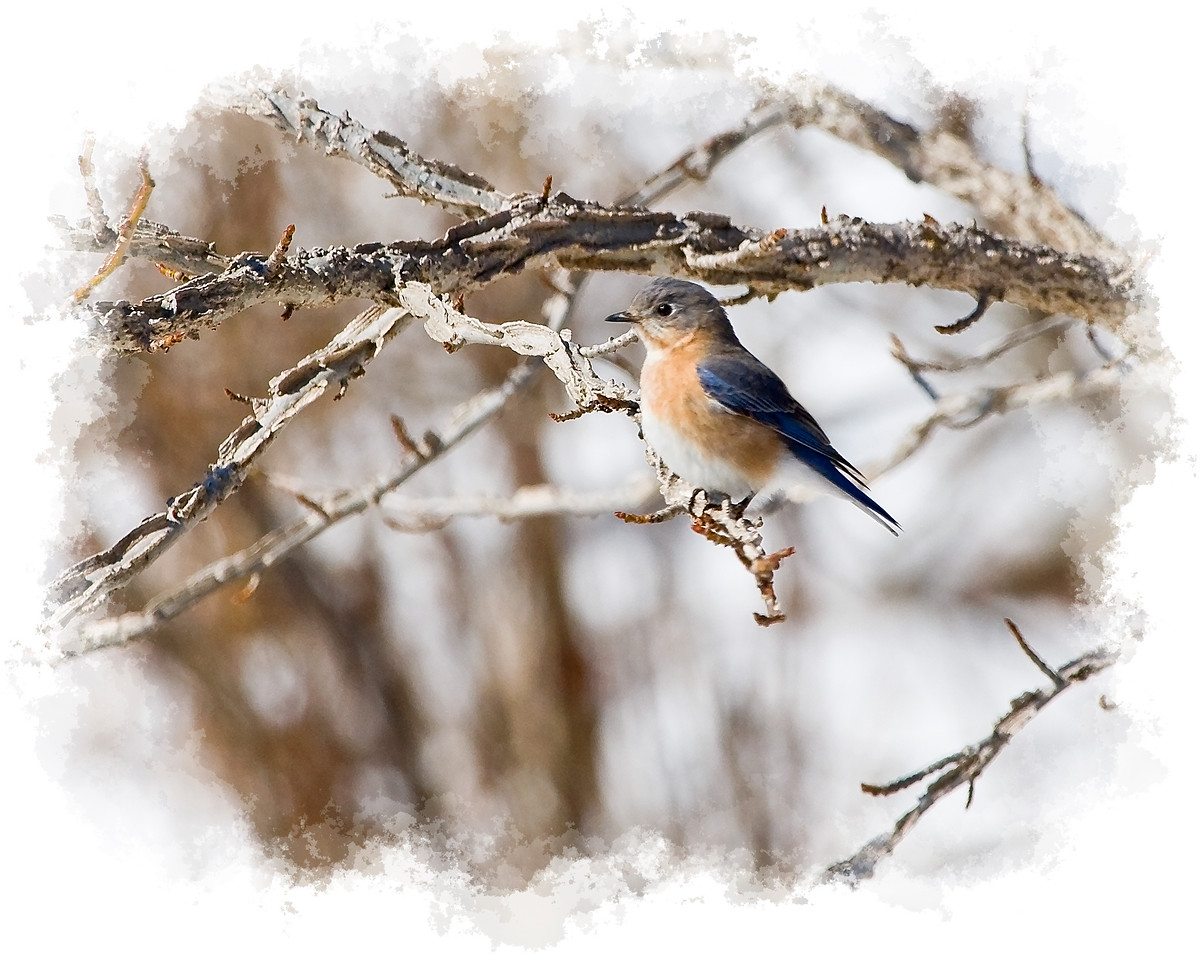 Female Bluebird in Snowy Scene