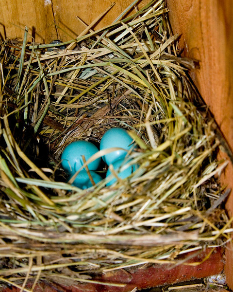 Bluebird eggs in nest box