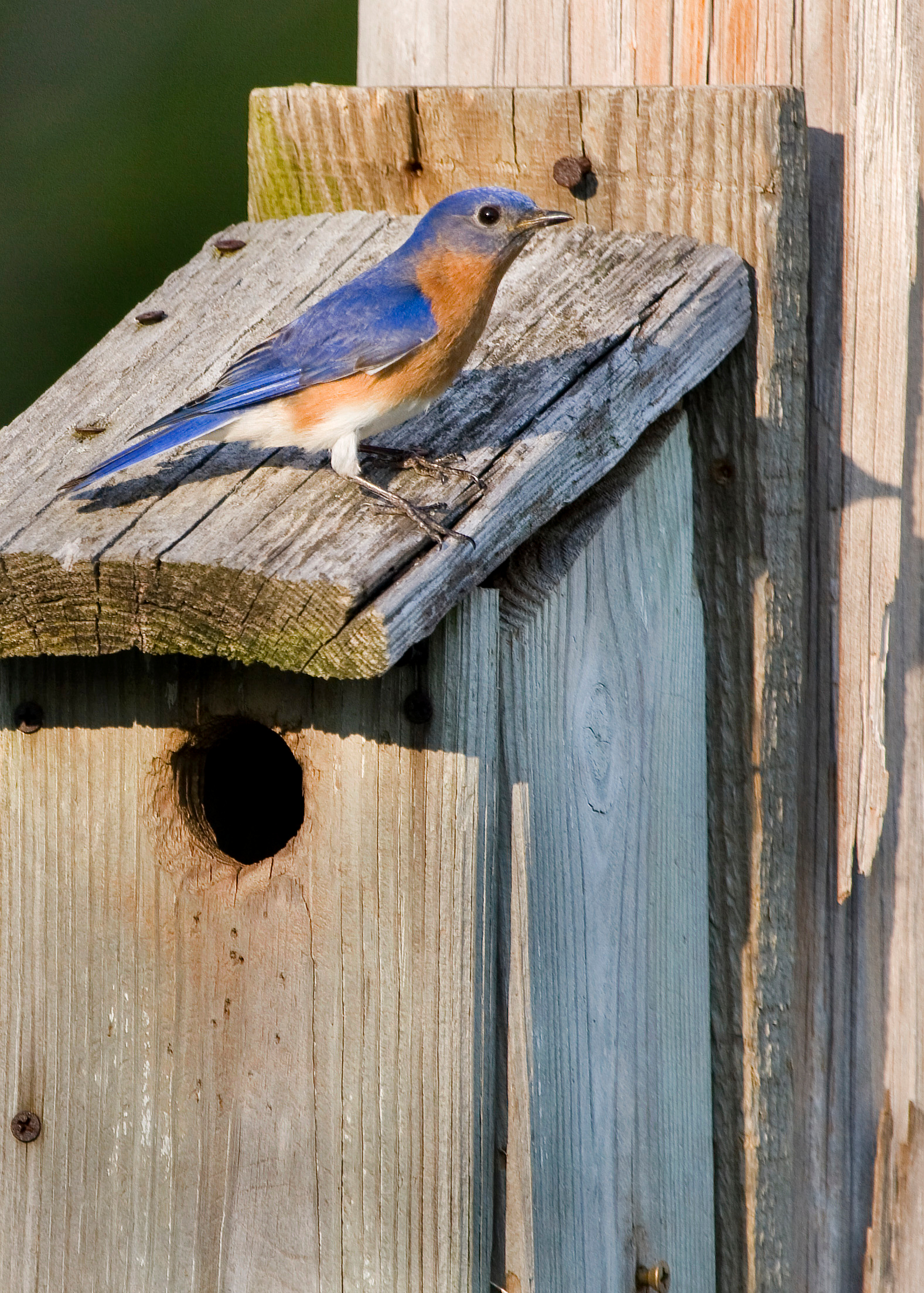 Bluebird on nest box ... now if I can just get one or two to frequent my outdoor 'bird studio' :)