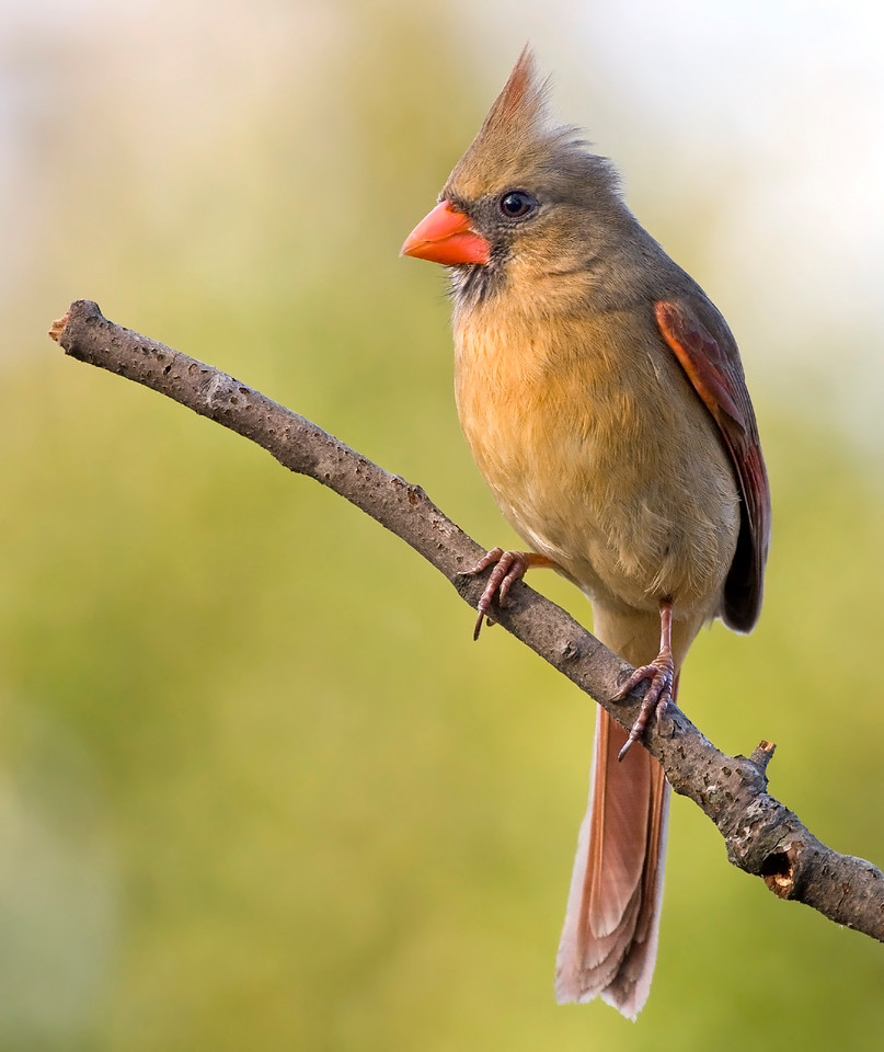 Female Northern Cardinal in the Late Afternoon