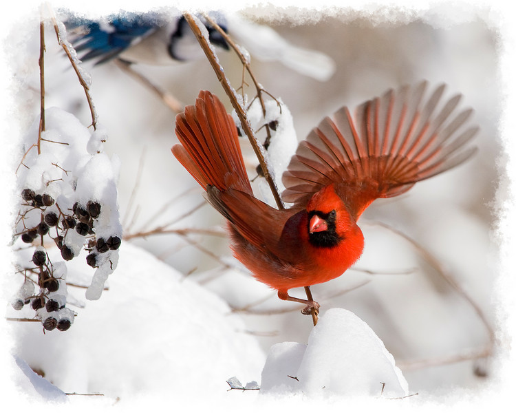 Male Northern Cardinal Snowy Take Off