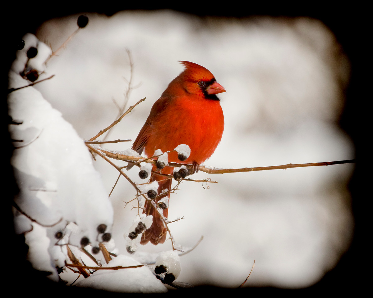 Male Northerrn Cardinal