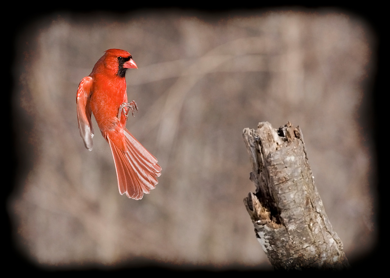Male Northern Cardinal Landing