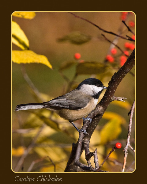 Carolina Chickadee in Fall