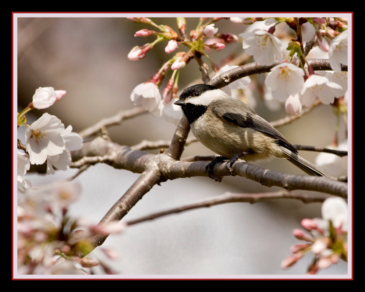 Chickadee in Cherry Tree - It's been so warm here today (~70 degrees) that I decided to process an old shot I never did anything with. In anticipation of the Sakura in my yard blooming in about a month.