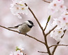 Carolina Chickadee in Cherry Tree