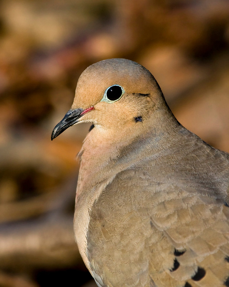 Mourning Dove<br /> <br /> Add a little eyeliner and she's ready for an evening of fun! ( I think it may be a she ... don't know how to tell girls from boys with doves )
