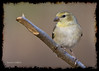 American Goldfinch in winter plummage