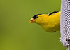 Did you hear a click? I thought I heard a click.<br /> <br /> I love how male goldfinches look like they have a comb over :)