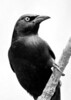 Grackle in Black and White - playing some more.