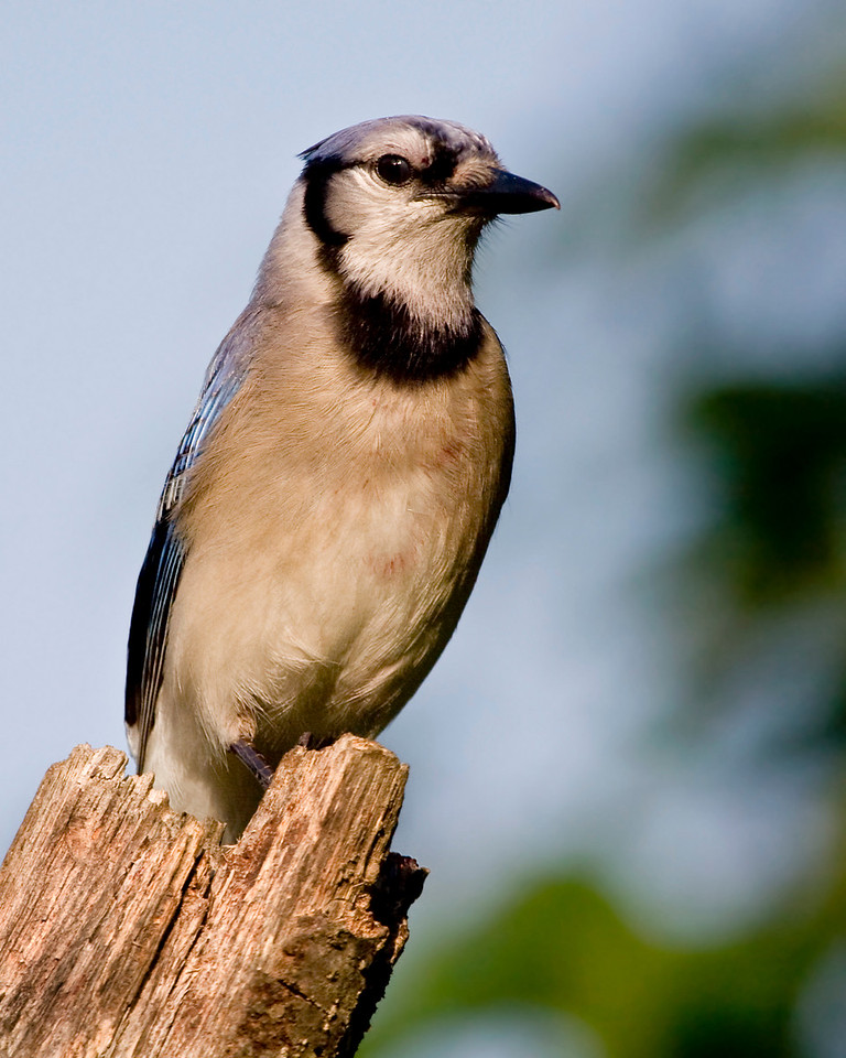 Blue Jay, with only a little bit of berry juice.
