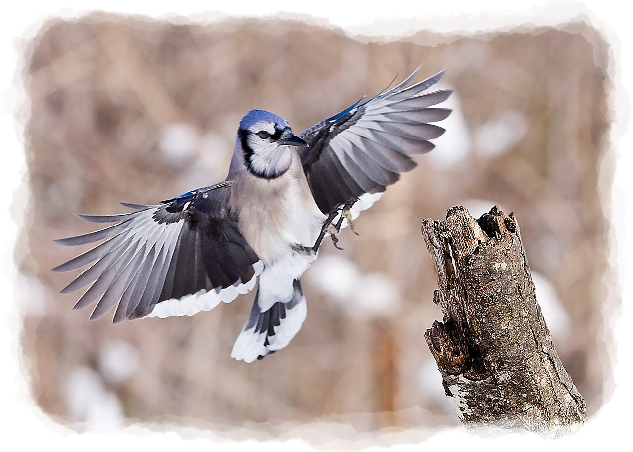 Blue Jay Landing in Snow