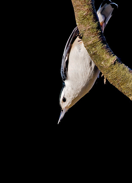 A Curious Nuthatch <br /> <br /> (not to be confused with A Curious Camel ... those are way cooler *grin*)