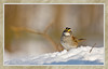 White Throated Sparrow in Snow