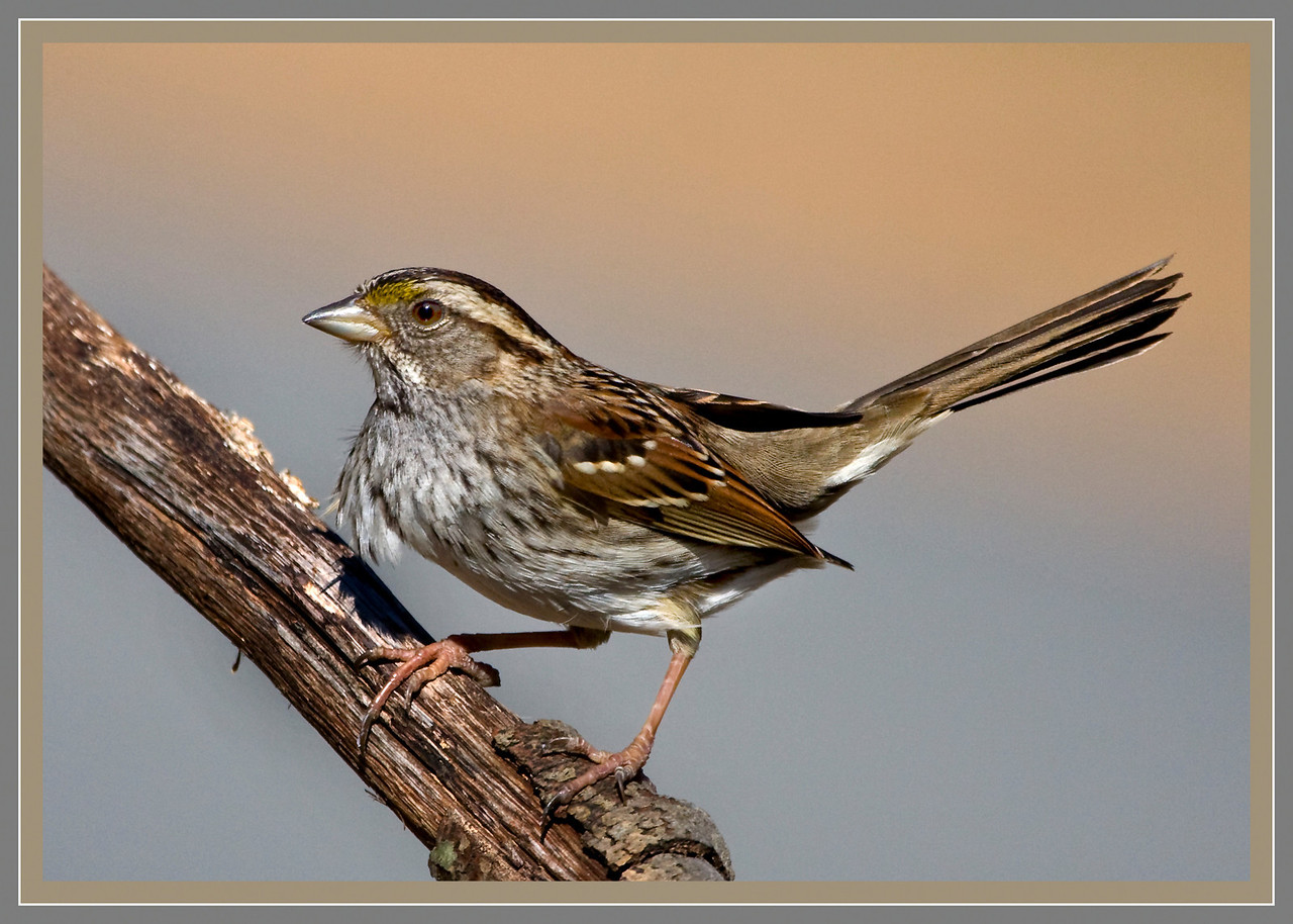 White Throated Sparrow in the Wind