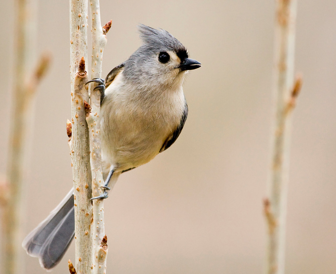 """Tufted Titmouse, yet again.  Tried a different exposure method. I normally just use the on-board light metering and let it decide (with maybe some exposure comp in AV mode). But read about the ETR (Expose to the Right) method and gave it a try. This method invloves using manual mode and the RGB histogram to determine exposure. Here I took a few test shots at a specific aperture (f5.6 wide open for the 100-400 L) and adjusted the shutter speed and ISO until the RGB histogram was as far to the right as possible without clipping any of the channels. I still ended up pushing the exposure up a bit in post but I'll have to play with this method some more. I tend to underexpose quite frequently when relying on the built in light metering.  It supposedly helps with noise and seemed to do the job.   <a href=""""http://www.luminous-landscape.com/tutorials/expose-right.shtml"""">ETR Method tutorial</a>"""
