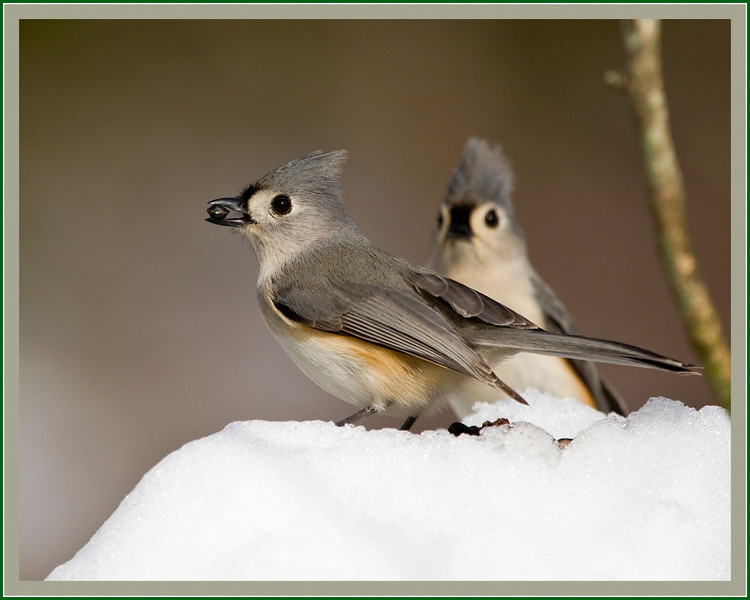 Titmouse and Friend