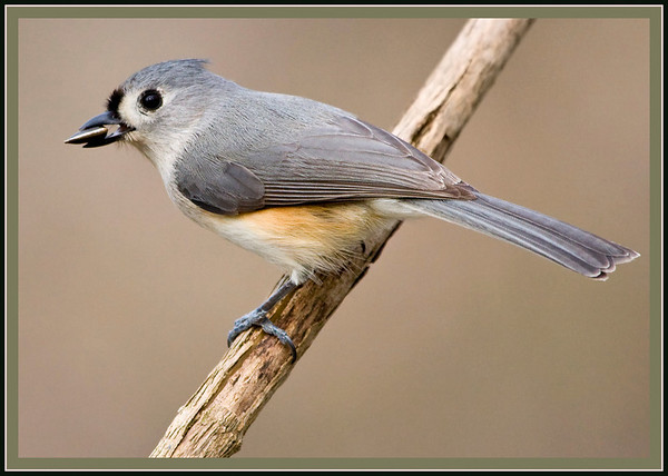 Tufted Titmouse with seed