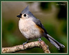 Tufted Titmouse from Sunday.<br /> <br /> Overcast and no time at lunch for pics. It is supposed to be an ice storm for us today, so maybe I can drop my shutter speed for the frozen birds :)
