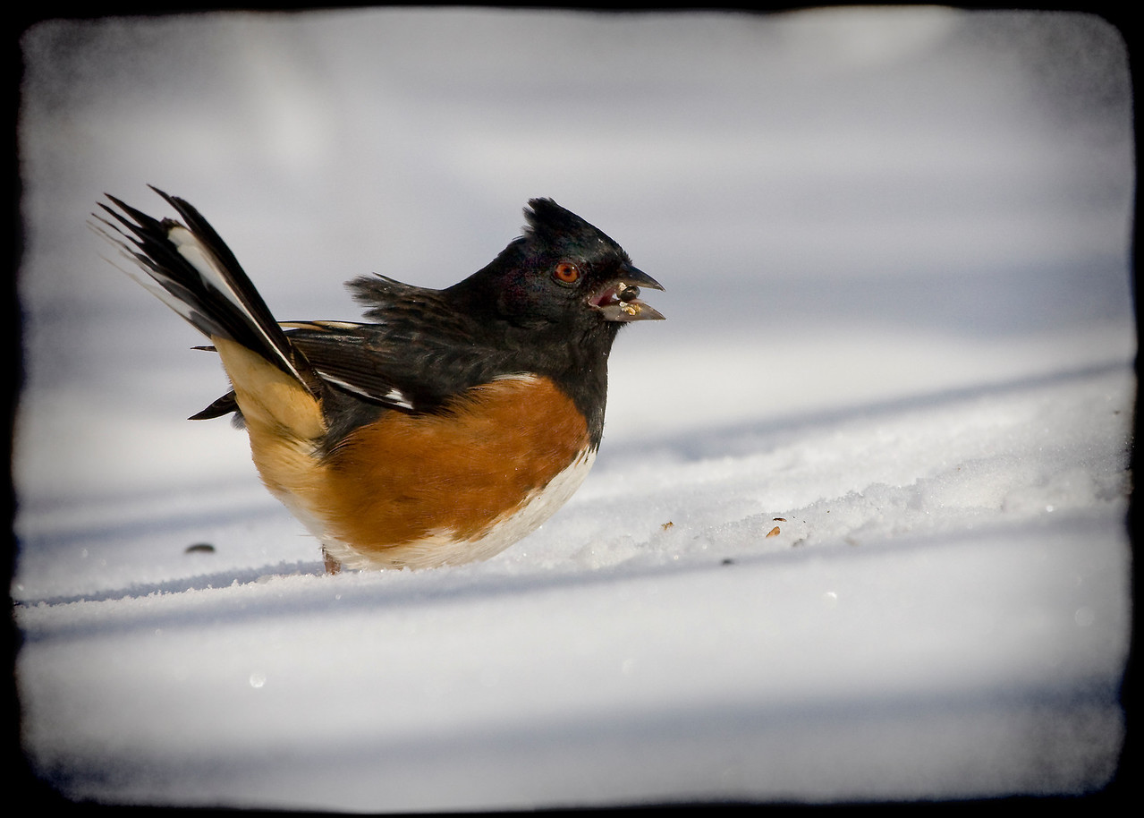 Male Eastern Towhee in the Snow