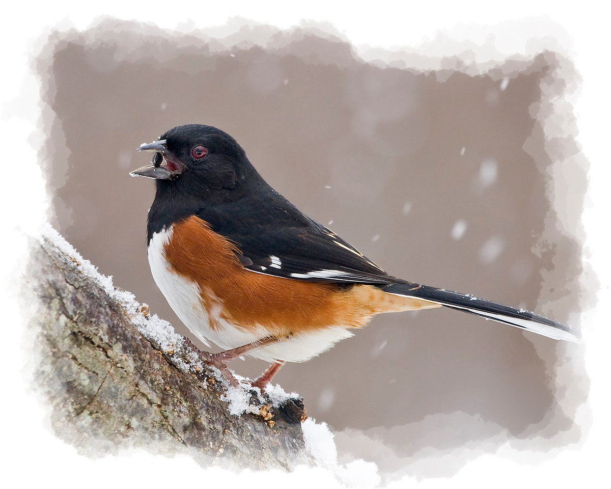 Male Eastern Towhee in Snow