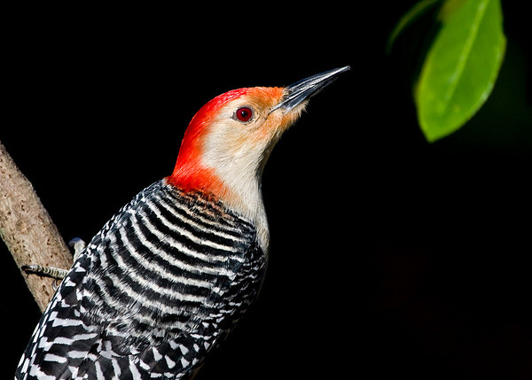 """Red Bellied Woodpecker, Male  Probably would look better without the leaf.  P.S. <a href=""""http://kurtpreston.smugmug.com/gallery/7369079_fnF5C/1/488391362_M5M76/Large"""">This is what it looks like</a> with the leaf removed."""