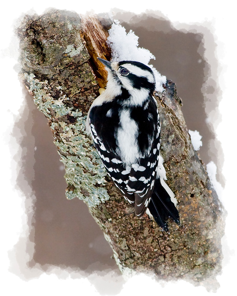 Female Downy Woodpecker in Snow