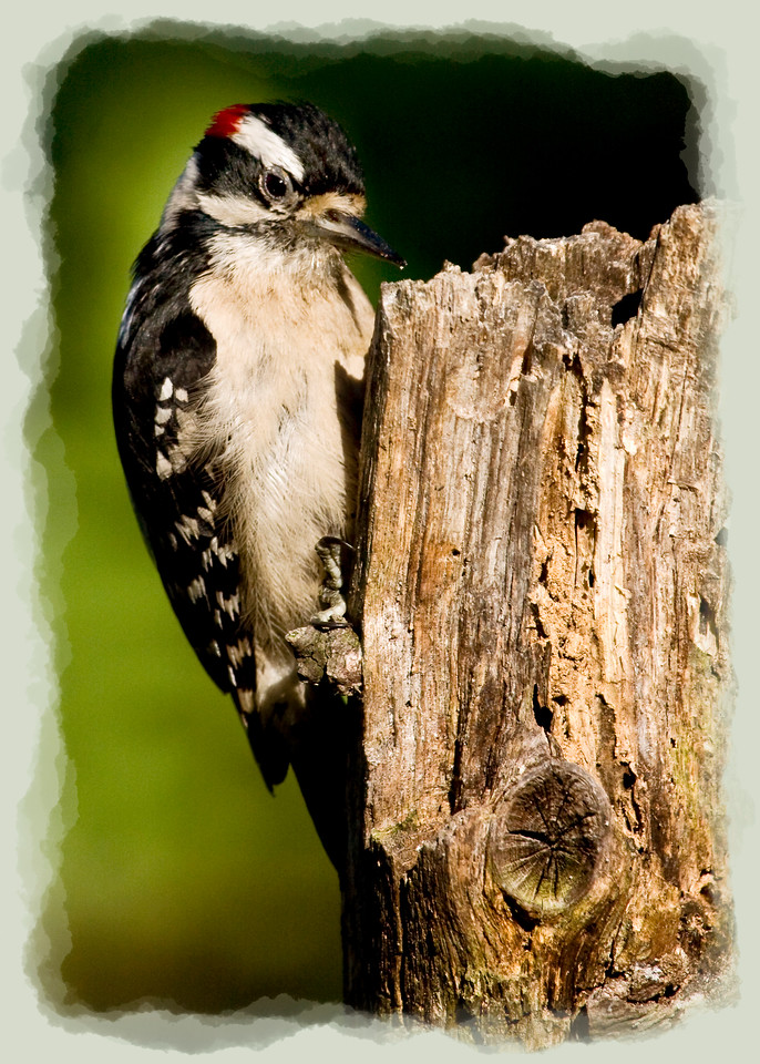 Male Downy Woodpecker<br /> <br /> I think there are times (like this one) where having a flash setup to illuminate the background would work real well. Only a few of the leaves of the background tree were in sunlight and it would have been better to light them all.