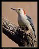 Red-bellied Woodpecker, Female