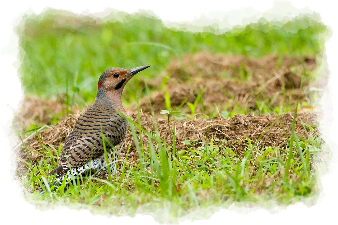 Northern Flicker in the Grass