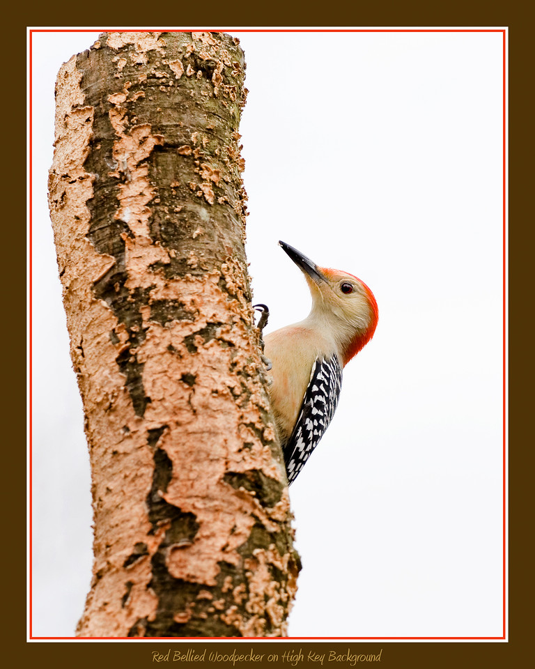 Red Bellied Woodpecker on high key background
