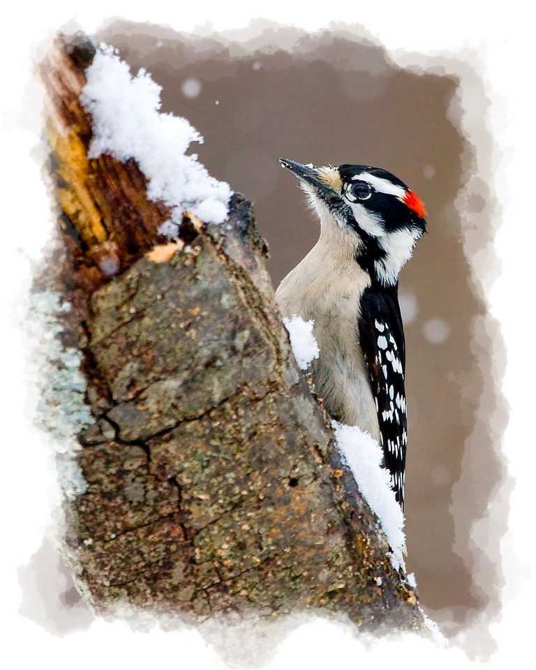 Male Downy Woodpecker in Snow
