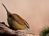 Wren with seed