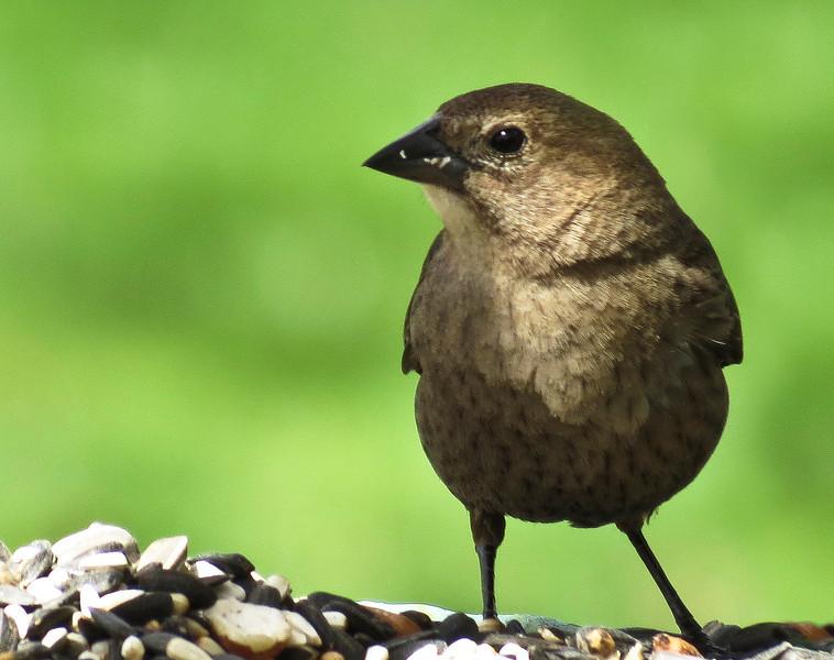 Cowbird, Female.....