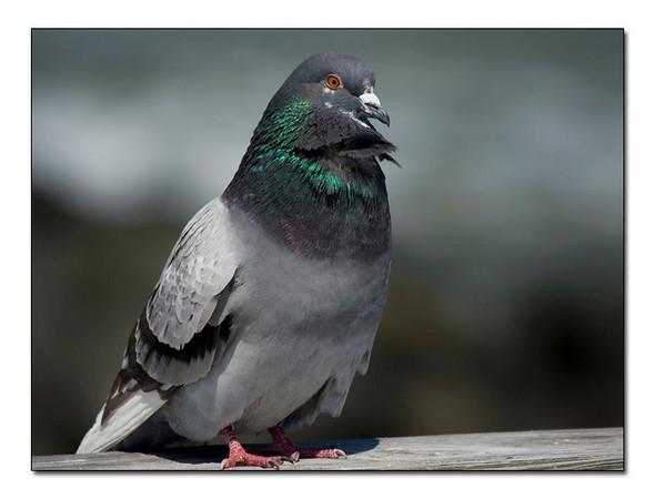 Pidgeon-Rock Dove (95861108)