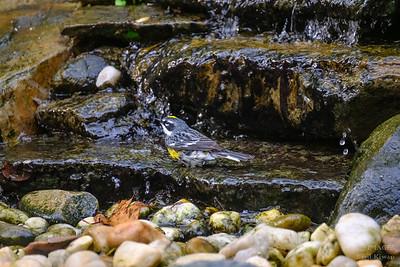 Yellow Rumped Warbler Bathing
