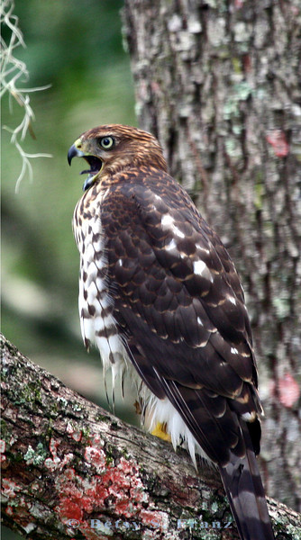 I believe this is an immature Cooper's Hawk but I'm not certain. Several different species of hawks hang around our property.